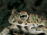 Close-Up of a Green Toad (Bufo Viridis) Photographic Print by S. Montanari