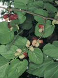 Close-Up of Black Mulberries on a Tree (Morus Nigra) Photographic Print by A. Moreschi