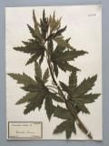 Close-Up of Hemp (Cannabis Sativa) in a Herbarium Reproduction photographique par G. Cigolini