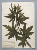 Close-Up of Hemp (Cannabis Sativa) in a Herbarium Photographic Print by G. Cigolini