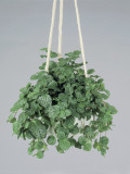 Close-Up of a Creeping Charlie Plant in a Hanging Basket (Pilea Nummulariifolia) Photographic Print by G. Cigolini