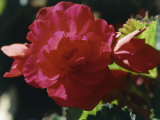 Close-Up of a Red Begonia Flower Fotografisk tryk