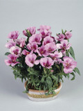 Close-Up of Godetia Flowers Growing in a Pot (Clarkia Amoena) Photographic Print by G. Cigolini