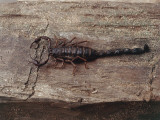 High Angle View of a Scorpion on a Wooden Surface, Madagascar (Euscorpius) Photographic Print