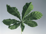 Close-Up of a Horse Chestnut Leaf (Aesculus Hippocastanum) Photographic Print by A. Dagli Orti
