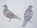 Anatomy of Two Pigeons Photographic Print