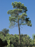 Low Angle View of a Maritime Pine Tree (Pinus Pinaster) Photographic Print by A. Laurenti