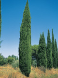 Italian Cypress Trees in a Row (Cupressus Sempervirens) Photographic Print by A. Curzi