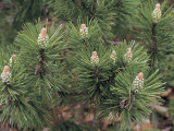 Close-Up of a Mugo Pine Tree (Pinus Mugo) Photographic Print by D. Dagli Orti