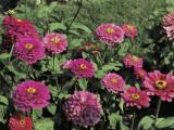 Close-Up of Zinnia Flowers (Zinnia Elegans) Photographic Print by C. Delu