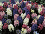 Close-Up of Various Hyacinthus Orientalis Flowers Photographic Print by D. Dagli Orti