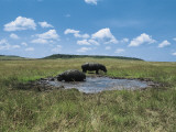 Two Hippopotamus in a Field, Masai Mara National Reserve, Kenya (Hippopotamus Amphibius) Photographic Print by F. Galardi