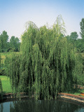 Weeping Willow Tree in a Garden (Salix Babylonica) Photographic Print by A. Curzi