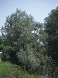 Low Angle View of a White Willow (Salix Alba) Photographic Print by A. Curzi