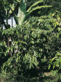 Robusta Coffee Plant Growing in a Field (Coffea Canephora) Photographic Print by A. Curzi