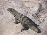 Close-Up of an Iguana, Xel-Ha Marine Park, Cancun, Quintana Roo, Mexico Photographic Print by C. Sappa