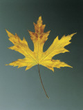 Close-Up of a Silver Maple Leaf (Acer Saccharinum) Photographic Print by A. Dagli Orti