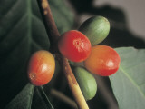 Close-Up of Coffee Beans on a Plant Photographic Print by D. Castellino