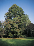 Durmast Oak Tree in a Garden Photographic Print by A. Curzi