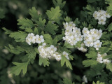 Close-Up of Flowers of a Hawthorn Plant Photographic Print by S. Montanari