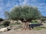 Olive Tree in the Forest (Olea Europaea) Fotografie-Druck von C. Sappa