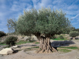 Olive Tree in the Forest (Olea Europaea) Photographic Print by C. Sappa