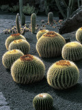 Spherical Cactus Plants in a Garden, Lanzarote, Canary Islands, Spain Photographic Print by W. Buss