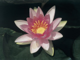 Close-Up of a Water Lily in a Pond Photographic Print by M. Cerri