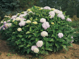 Hydrangea Flowers Growing on a Plant (Hydrangea Macrophylla) Photographic Print by A. Curzi