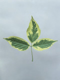 Close-Up of Box Elder Leaves (Acer Negundo) Photographic Print by A. Dagli Orti