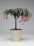 Close-Up of a Begonia Tamaya Plant Fotografisk tryk af C. Dani