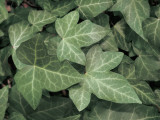 Close-Up of Ivy Leaves (Hedera Helix) Photographic Print by S. Montanari