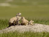South Dakota, Badlands National Park, a New Prairie Dog Mom, Left, Keeps a Watchful Eye About Photographic Print by G. Richard Kettlewell