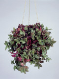 Close-Up of Wandering Jew Plant Growing in a Hanging Basket (Tradescantia Pallida) Photographic Print by G. Cigolini