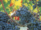 Close-Up of Dolcetto Wine Grapes (Vitis Vinifera) Photographic Print by B. De Candia