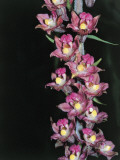 Close-Up of Royal Helleborine Flowers (Epipactis Atrorubens) Photographic Print by R. Sacco