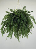 Close-Up of a Boston Fern Plant Growing in a Hanging Basket (Nephrolepis Exaltata) Photographic Print by G. Cigolini