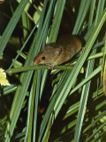 Close-Up of a Harvest Mouse (Micromys Minutus) Photographic Print