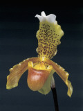 Close-Up of a Lady&#39;s Slipper Flower (Cypripedium) Photographic Print by F. Rotta