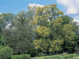 Scarlet Oak Tree in a Field (Quercus Coccinea) Photographic Print by C. Sappa
