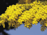 Close-Up of an Acacia Tree Photographic Print by S. Montanari