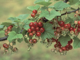 Close-Up of Red Currants on a Branch (Ribes Rubrum) Photographic Print by F. Rotta