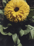 Close-Up of a Pot Marigold Flower (Calendula Officinalis) Photographic Print by A. Moreschi