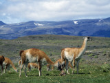 Mountain Landscape with Newborn Guanaco (Lama Guanicoe), Torres Del Paine National Park, Patagonia Photographic Print by Jeff Foott