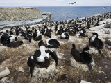 Large Group of Sea Birds, Rockhopper Point, Sea Lion Island, Falkland Islands Fotografie-Druck von R. Valterza