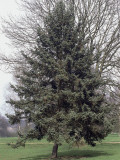 Norway Spruce Tree on a Landscape (Picea Abies) Photographic Print by C. Sappa