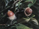 Close-Up of Fruits of Holm Oak Tree (Quercus Ilex) Photographic Print by C. Sappa