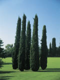 Mediterranean Cypress Trees on a Landscape (Cupressus Sempervirens) Photographic Print by A. Curzi