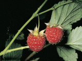 Close-Up of Raspberries (Rubus Idaeus) Photographic Print by R. Sacco