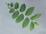 Close-Up of a Black Walnut Leaf (Juglans Nigra) Photographic Print by A. Dagli Orti
